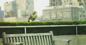 Hawk perching in a cityscape