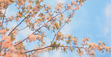 Photo of Spring cherry blossoms